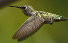 Hummingbird Study Reveals 22-Million-Year-Long History That Continues To Evolve And Produce New Species - INTERNATIONAL BUSINESS TIMES #Hummingbird