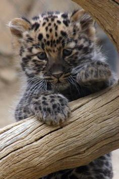 Amur Leopard Cub-- CRITICALLY ENDANGERED 35 LEFT IN THE WILD. #CriticallyEndangered