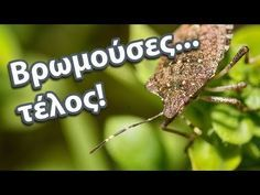 Αντιμετώπιση βρωμούσας με φυσικό τρόπο - YouTube Garden Works, Garden Pests, Colorful Garden, Cool Plants, Permaculture, How To Plan, Nature, Agriculture, Youtube