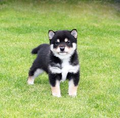 Cute Dogs And Puppies, Baby Dogs, Pet Dogs, Dog Cat, Japanese Dog Breeds, Japanese Dogs, Animals And Pets, Baby Animals, Cute Animals