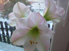 Így lesz csodás virága az amarillisznek | Balkonada Plants, Mint, Gardening, Tulips, Lawn And Garden, Plant, Planets, Horticulture, Peppermint