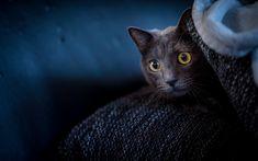Download wallpapers gray cat, sofa, pet, British shorthair cat