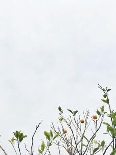 dad's mandarin tree.