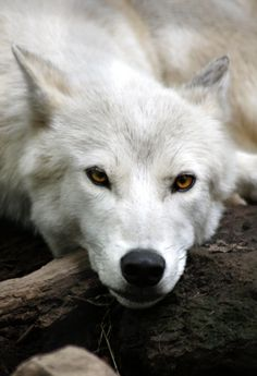 "moonandtrees: "" White Wolf 1 by ravenofthenight """