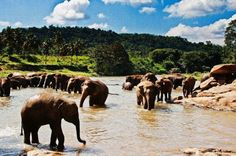Sri Lankan Beautyfull Places : Pinnawala elephant