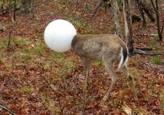 Un cervo con la testa nel globo di illuminazione, nei boschi a Centereach, NY. Il cervo è stato in grado di districarsi con l'aiuto dell'ufficiale di Conservazione ambientale, Jeff Hull.