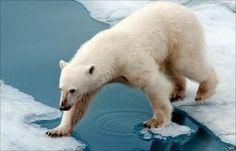 Albino polar bear- Polar Bear Liver facts