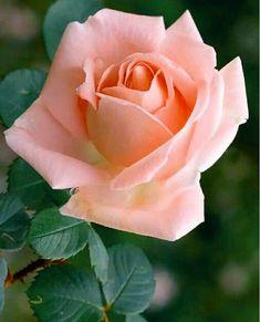Home Flowers, Beautiful Rose Flowers, Pretty Roses, Flowers Nature, Pink Roses, Pink Flowers, Planting Fruit Trees, Rose Photos, Flower Wallpaper