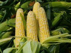 Ambrosia Corn....the sweetest corn