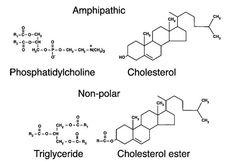 free cholesterol vs. cholesterol ester - Google 검색