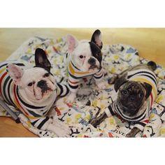 pups in stripes (Hudson Bay stripes!)