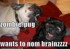 Zombie-pug wants to nom brainzzzz