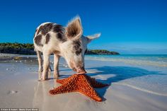 Star attraction: Tourists visit the paradise, nicknamed Pig Island, to visit the swine in their unusual habitat every year