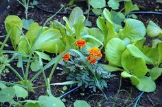 Foster relationships with your vegetables and companion plants! Help keep away bad bugs & attract pollinators: Marigolds, Geraniums, Petunias,  Alyssum, Cosmos, Bachelor's Button, Nasturtium, Garlic, Lavender, Sage, Thyme, Rosemary, Basil & Chamomile.