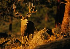 Trophy mule deer are notoriously tricky to hunt, but they will likely be your most prized catch.