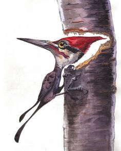 """Pileated Woodpecker""...Watercolor Painting 11"" x 14"" Price includes shipping and handling in the U.S. only. Shipping outside of the U.S.? Please email us and we will get the lowest cost for the best"