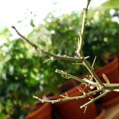 Torplycka_492 :Mitt citronträd har det riktigt tufft varje vinter sedan jag köpt det 2010. Men varje vår samlar det sista krafterna, sjuter nya blad och knoppar och blommar sedan ända till hösten. #odlarglädje #blomsterlandet #helasverigeodlar #citronträd #medelhavsväxter