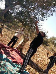 قطف الزيتون  فلسطين قلقيلية
