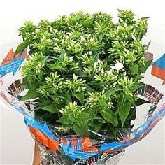 Buy White Phlox Whitecap at wholesale prices & direct UK delivery. Easter Celebration, Herbs, Flowers, Celebrations, Herb, Royal Icing Flowers, Flower, Florals, Floral