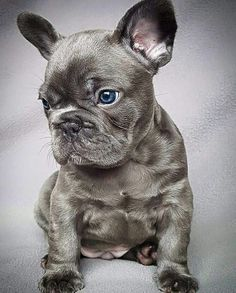 The major breeds of bulldogs are English bulldog, American bulldog, and French bulldog. The bulldog has a broad shoulder which matches with the head. Cute Puppies, Cute Dogs, Dogs And Puppies, Doggies, Frenchie Puppies, Terrier Puppies, Corgi Puppies, Boston Terriers, Baby Animals