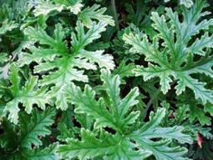 Citronella Plants for Repelling Mosquitoes