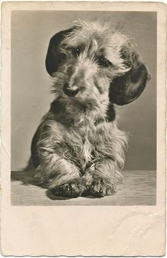 Vintage Wirehaired Dachshund photo