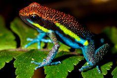Poison arrow frog (Amreega macero) Manu national park, peru.