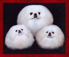Joy Thoms has devoted her life to breeding quality, gorgeous Pekingese!