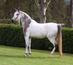 Sweet Meadows Sanaya, grey Arabian mare with extensive bloody shoulder markings. (source)