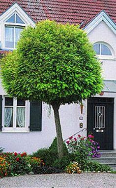 Schnitt von Kugelformen -  Die Kugelformen von Ahorn, Robinie oder Trompetenbaum werden oft als kleinkronig verkauft. Das ist aber relativ zu sehen, denn im Alter können die Kronen durchaus fünf bis sechs Meter breit werden.