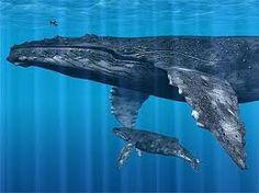 My primary animal wisdom is whale