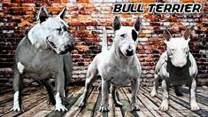 El BULL TERRIER y el BULL TERRIER MINI tienen el mismo estándar y SU DIF... Mini Bull Terriers, Birmingham, Goats, Horses, Animals, Youtube, Tinkerbell, Extinct, The World