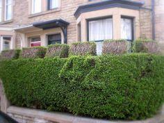 Privet Hedge Disease