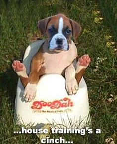Funny Boxer Dog Pictures With Captions Rottweiler Funny, Funny Boxer, Funny Dogs, Boxer Dog Breed, Boxer Puppies, Boxer And Baby, Boxer Love, Handmade Dog Collars, My Animal
