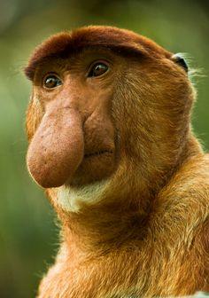 I woke up wif my nose looking like dis....  Proboscis Monkey