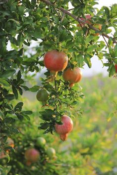 Best Time to Plant a Pomegranate Tree