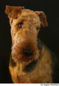 Fotos del Airedale Terrier