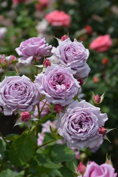 English Roses, Beautiful Roses, Bloom, Plants, Garden Roses, Cottage, Purple Roses, Craft, Backgrounds