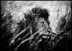 Photo Lion after the nap - Laurent Baheux