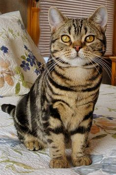 "* * "" Meanin' ' American Shorthair ' born heres.' Kinda like Bruce Springstein ' Born in de U.S.A. """