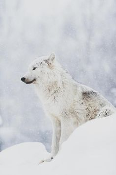 snow animals wolf beautiful perfect Awesome nature wolves vertical ...