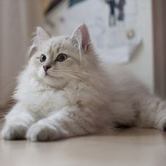 Siberian Cat - a large sized, long coated cat breed, originally from Russia. American Bobtail, Pretty Cats, Beautiful Cats, Cute Kittens, Cats And Kittens, Cat Ideas, Siberian Forest Cat, Hypoallergenic Cats, Popular Cat Breeds