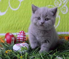Easter kitty; Grishka my lilac Brittish shorthair cat.