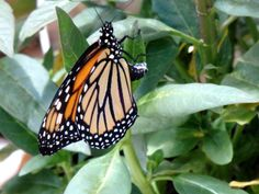 """""""The Life Cycle Starts Again"""" - Monarch Butterfly laying eggs on the host milkweed plant - by Steve Hoffacker - http://stevehoffacker.com"""