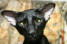 Black Oriental Shorthair - I want one!!