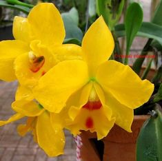79 best yellow n gold flowers and plants images on pinterest flower photography of orchids and tropical flowers mightylinksfo