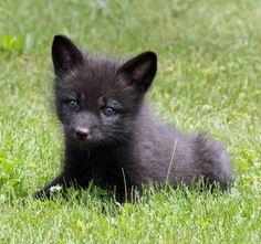 Tiny Wolf Cub from the Lakota Wolf Preserve... <3