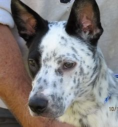 Check out Oscar's profile on AllPaws.com and help him get adopted! Oscar is an adorable Dog that needs a new home. https://www.allpaws.com/adopt-a-dog/border-collie-mix-australian-cattle-dog-blue-heeler/5281009?social_ref=pinterest