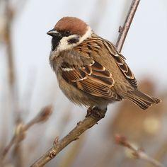 Vogel foto: Passer montanus / Ringmus / Eurasian Tree Sparrow