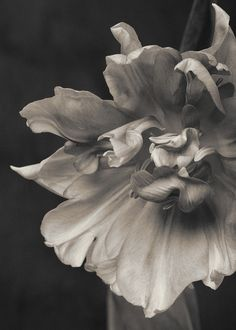 Platinum Toned Tulip--Stanford-Photography